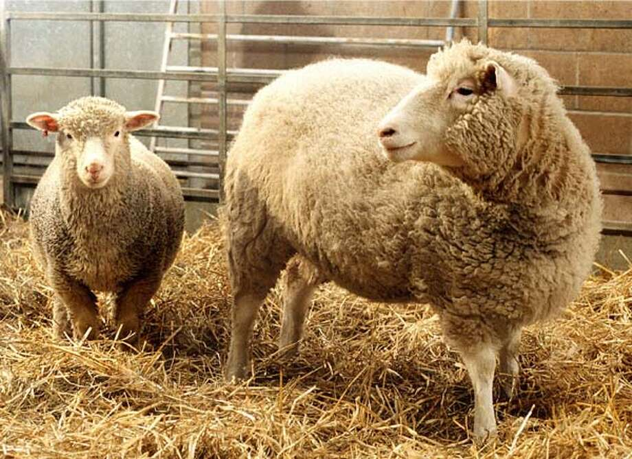 Dolly, right, the first cloned sheep produced through nuclear transfer from differentiated adult sheep cells, and Polly, the world's first transgenic lamb, are in their pen in Scotland, in early December, 1997.   Scientists at the Roslin Institute produced Molly and Polly cloned with a human gene so that their milk will contain a blood clotting protein that can be extracted for use in treating human hemophilia.  Dr. Ian Wilmut's technique motivated many governments to ban research on human cloning. Dolly was later naturally mated and gave birth to a healthy lamb. Photo: JOHN CHADWICK, ASSOCIATED PRESS / AP1997