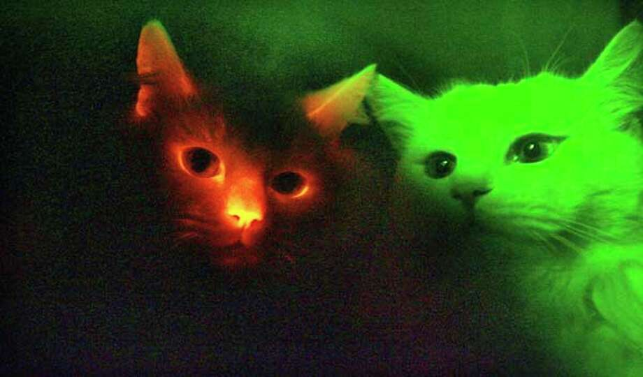 South Korean scientists have cloned cats that glow red when exposed to ultraviolet rays, an achievement that could help develop cures for human genetic diseases. Photo: Choi Byung-kil, AP / YONHAP
