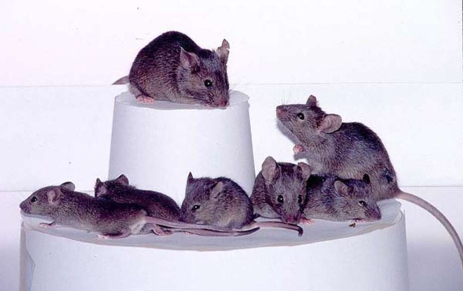 These three generations of cloned mice were created by a relatively simple cloning techique discovered by scientists at the University of Hawaii in 1998. This was the first documented cloning of an adult mammal after Dolly the Sheep in 1996. Photo: Getty Images / Getty Images North America