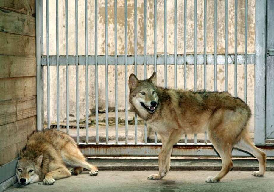 Cloned female wolfs, named Snuwolf  and Snuwolffy, are seen in a cage at a zoo in southern Seoul in 2007. Photo: AFP, AFP/Getty Images / 2007 AFP