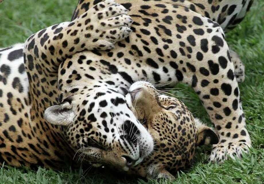 In this 2012 photo, onca pintada jaguars interact at the Jardim Zoo in Brazil. The scientists at Brazil's Embrapa agriculture research agency said they have built a gene library with hundreds of samples from eight native species, including the collared anteater, the bush dog, the black lion tamarin, the coati, and deer and bison varieties, as well as the onca pintada jaguar and the maned wolf. Photo: Eraldo Peres, Associated Press / AP