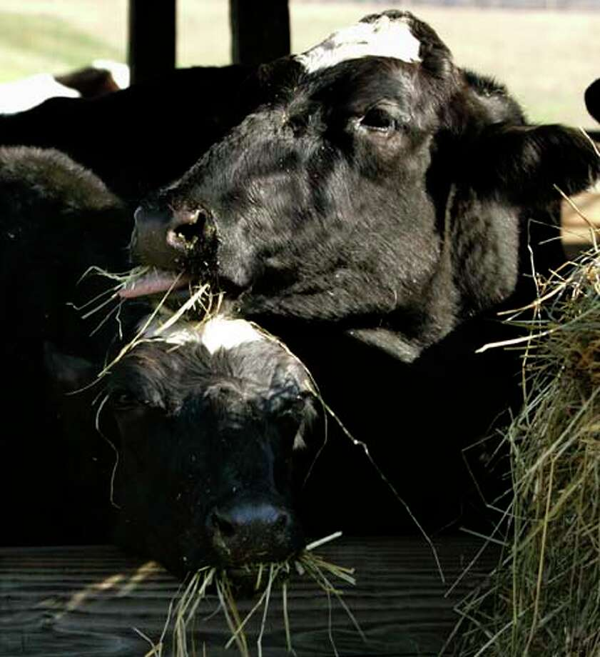 Cloned dairy cows Cyagra, left, and Genesis, right, share hay together as they eat at a farm in Maryland in 2006. Federal scientists have concluded there is no difference between food from cloned animals and food from conventional livestock. Photo: CHRIS GARDNER, AP / AP