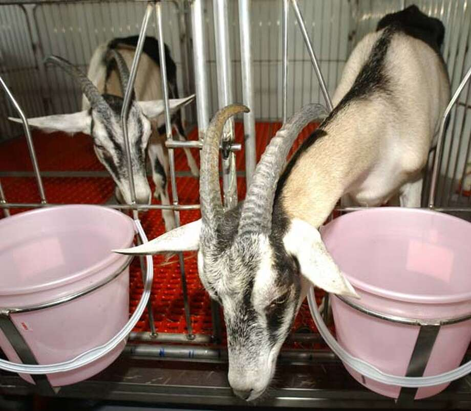 Two cloned goats are displayed during the Bio Taiwan 2003 at World Trade Center before an exhibition in Taipei. Photo: SAM YEH, AFP/Getty Images / AFP