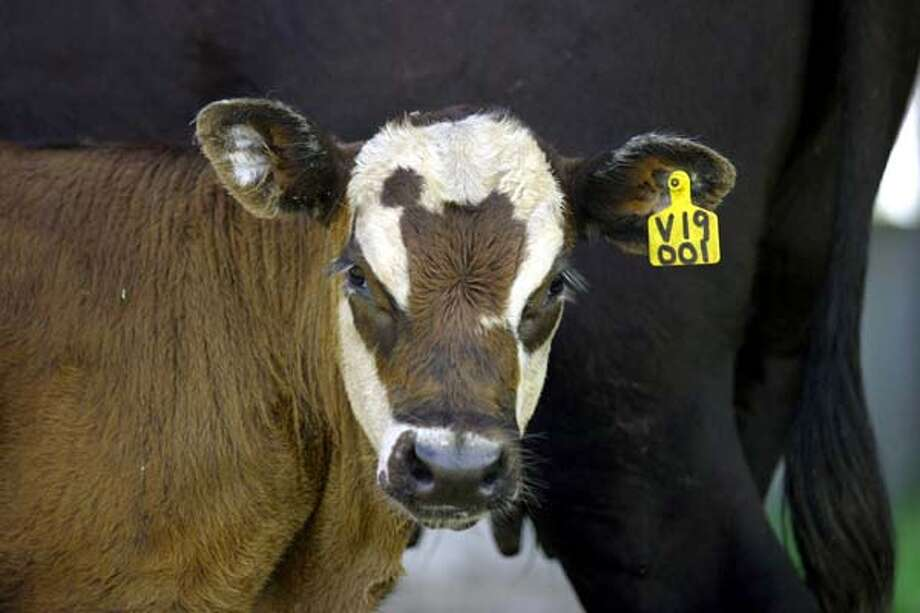 Elvis is a calf cloned by ViaGen Inc. of Austin, Texas, and groomed for breeding. Photo: GUZY / THE WASHINGTON POST