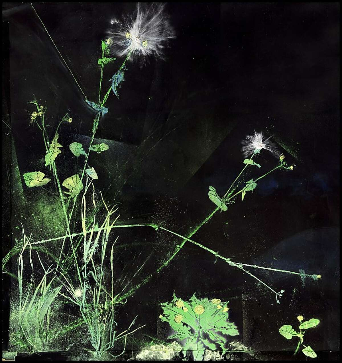 """""""Digitaria Sanguinalis and Taraxicum Officinale Study"""" is an archival light-jet print by Kelly Barrie, whose work is on view at Gallery Wendi Norris. (Detail of the original work.)"""