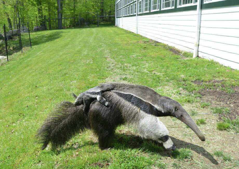Armani, a giant anteater, with her baby, Archie, a male, clinging to her back, at the LEO Zoological Conservation Center in Greenwich, Friday, May 10, 2013. Photo: Bob Luckey / Greenwich Time