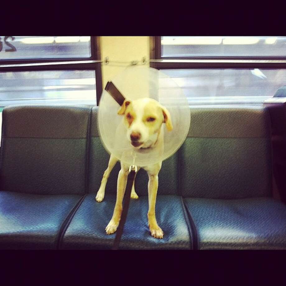 Dogs in Seattle can ride public transportation! Photo via Estately.