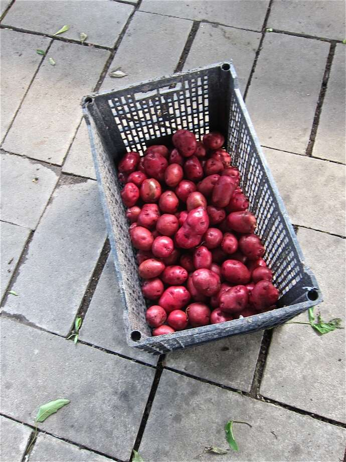 Red potatoes wait to go into the crawfish boil that takes place at Carlos Beer Garden on Thursday and Saturday evenings in season.