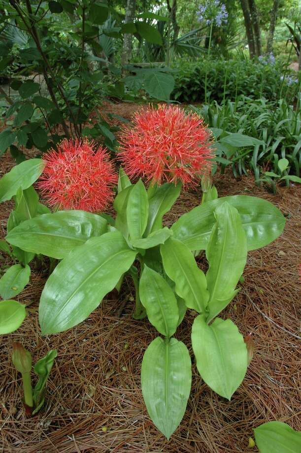 blood lily in mass. Treesearch Farms photo / DirectToArchive