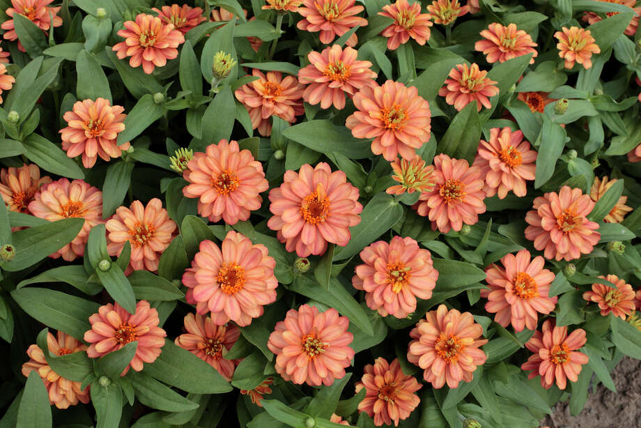 'Profusion Double Deep Salmon' zinnia. All-America Selections photo.