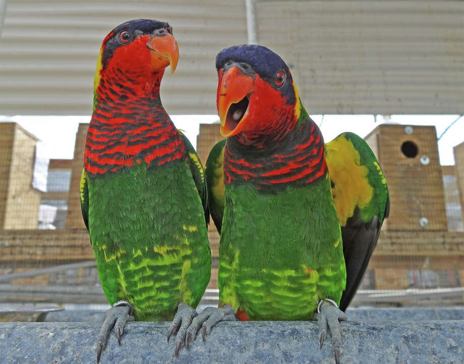 "50-plus tropical birds will visit the Maritime Aquarium when ""Lorikeets"" opens on Thursday, May 25. Photo: Contributed Photo"