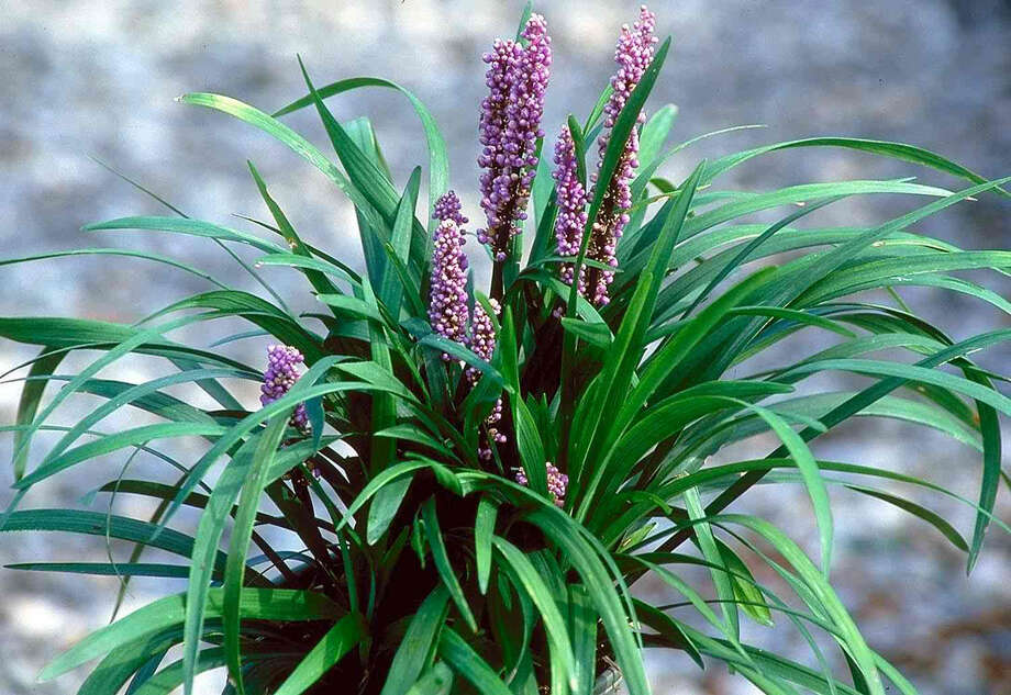 Liriope (liriope muscari) is a good choice for full-shade areas. It looks like grass but doesn't need to be mowed. Photo: Courtesy Photo