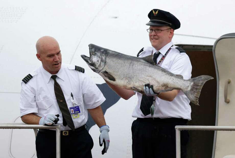 Alaska Airlines first officer Peter Michels carries a 40-pound Copper River salmon off the plane as Capt. Jeff Meyer looks on as the first shipment of the valuable fish arrives in Seattle from Cordova, Alaska, Friday, May 17, 2013. Photo: AP