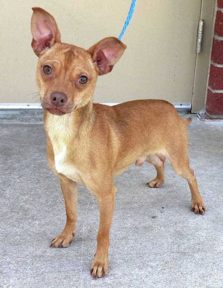 Harvey, a 1.5 year old Terrier / Chihuahua mix.   Harvey is a beyond precious, little red man.  He leans against his glass door and looks up and smiles at everyone and yet no one even wants to take him for a walk.  He's a very sweet young dog that was transferred from Animal Control for a second chance to find a forever home. He is fully grown at only 13 lbs.  And did I say Harvey likes squeaky toys?  I sure hope his adopters have a budget for these, because this boy is smitten with them.  Have squeaky toy – will do anything Photo: --