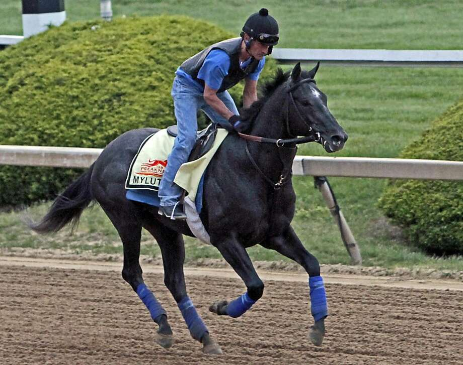 Exercise rider Maurice Sanchez gallops Preakness Stakes entrant Mylute at Pimlico Race Course in Baltimore, Thursday, May 16, 2013.  Photo: Garry Jones, Associated Press