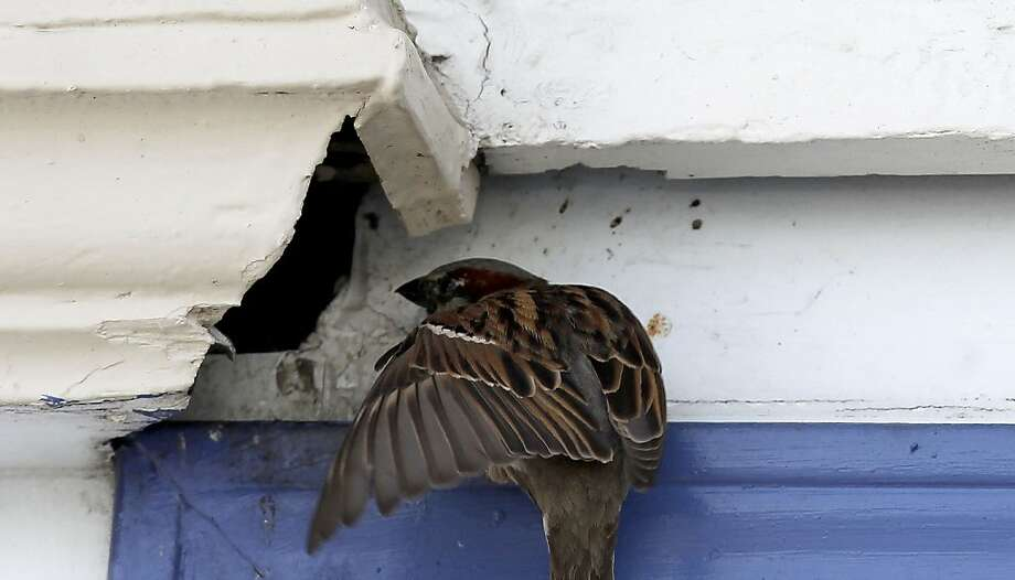 A house sparrow, one of the species in the Mexico City study, flies into its nest inside an exhaust hole above a window in S.F. Photo: Michael Macor, The Chronicle