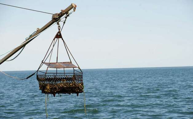Oysters are dredged in the Long Island Sound by Norm Bloom and Son in Norwalk, Conn., on Friday, May 17, 2013. Photo: Lindsay Perry / Stamford Advocate
