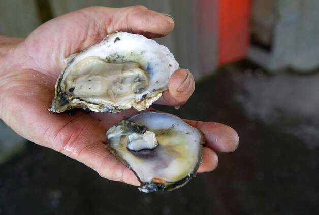 Pogy Pogany holds an oyster at Norm Bloom and Son in Norwalk, Conn., on Friday, May 17, 2013. Photo: Lindsay Perry / Stamford Advocate