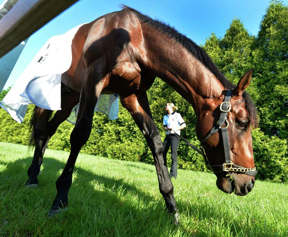 Kentucky Derby winner Orb gets a mouthful of grass while grazing this morning with regular exercise rider Jennifer Patterson holding on to the lead shank May 17, 2013 the day before the second jewel of the Triple Crown for thoroughbreds to be held at the Pimlico Race Course in Baltimore, MD.  (Skip Dickstein/Times Union) Photo: SKIP DICKSTEIN