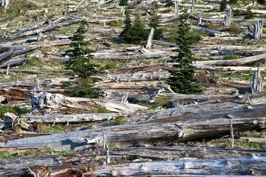 Signs of life return to forest destroyed by the eruption. Photo: Donald E. Hall, Getty Images/Flickr RF / Flickr RF