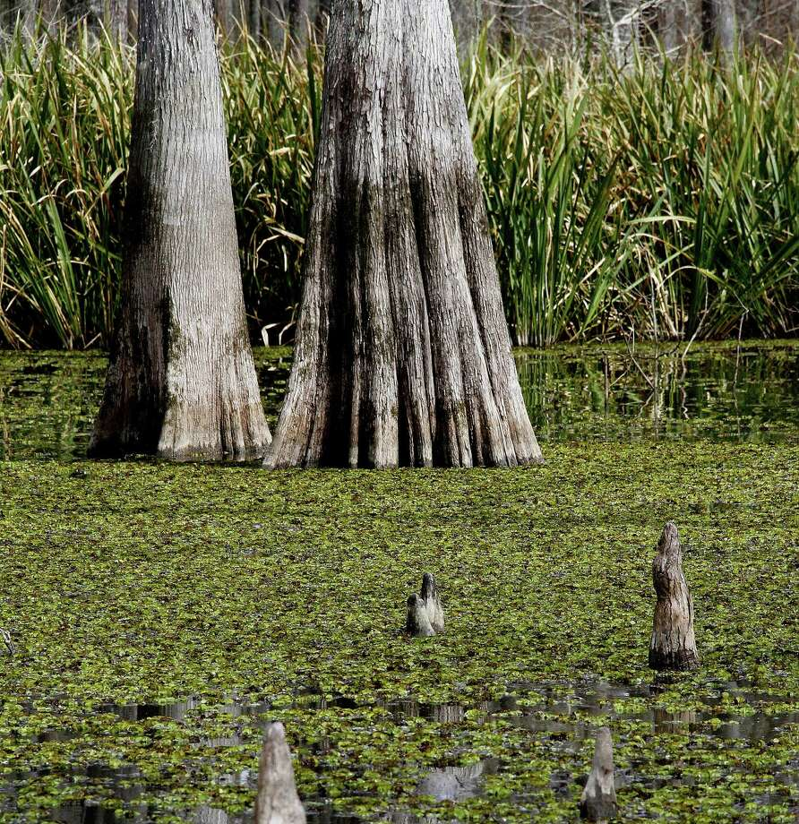 The 2014-15 budget being considered by the Texas Legislature would modestly increase funding for battling non-native, invasive aquatic plants such as giant salvinia, here smothering the surface of a cypress swamp along the Trinity River. Photo: Picasa