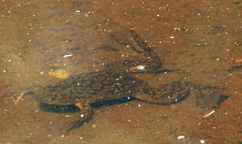 Watch Pregnancy tests used to be African clawed frogs video