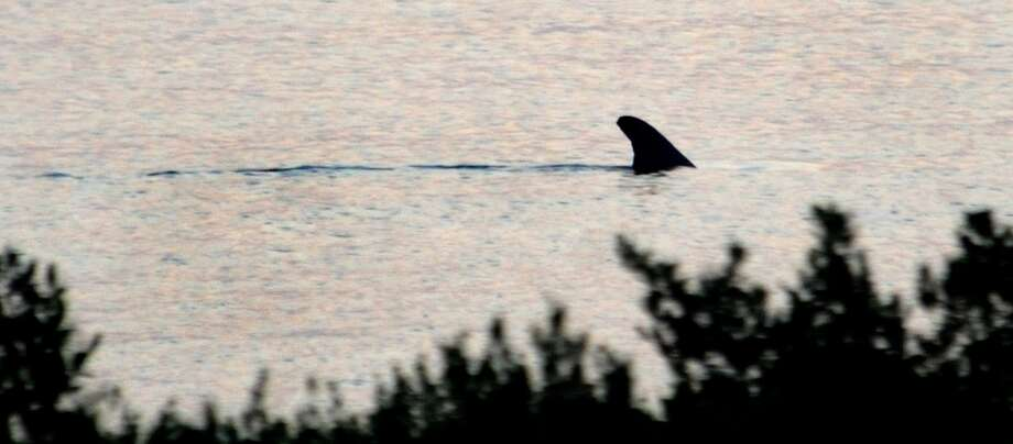 A shark swims in the Caminada Bay in Grand Isle, LA, in 2010.   Enterprise file photo Photo: TAMMY MCKINLEY / Beaumont