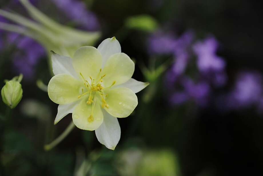 Columbine(Aquilegia canadensis) Photo: Lea Suzuki, The Chronicle