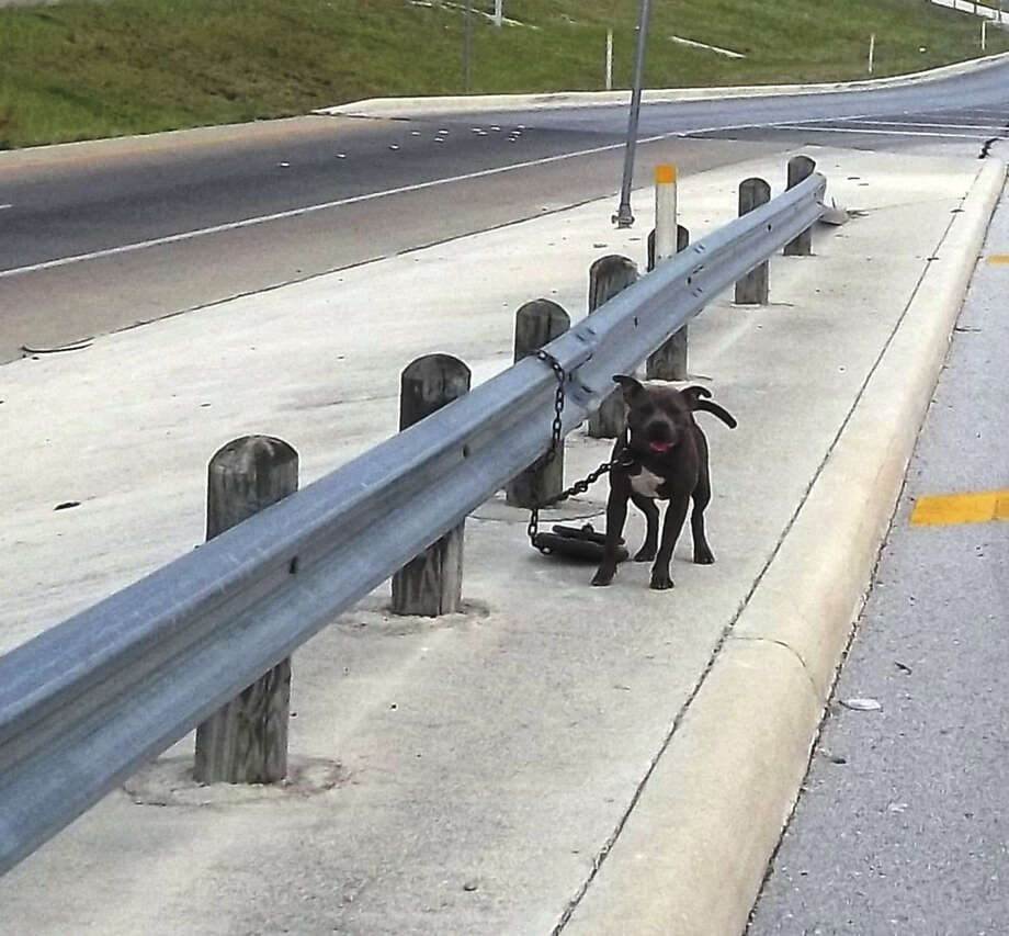 This dog was found chained to the guardrail at the West Avenue access road of Interstate 10 East on Sunday. A witness reported seeing a man in his 30s or 40s chain the dog to the rail. Photo: Courtesy Photos