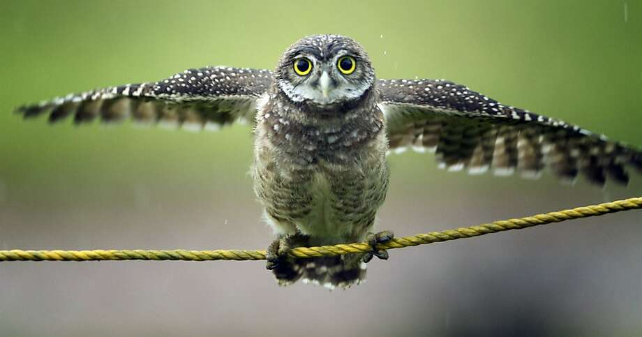 A Burrowing owl tries to perch on a protective rope in a public park in Cooper City, Fla. Monday, May 20, 2013 as rain falls. (AP Photo/J Pat Carter) Photo: J Pat Carter, Associated Press