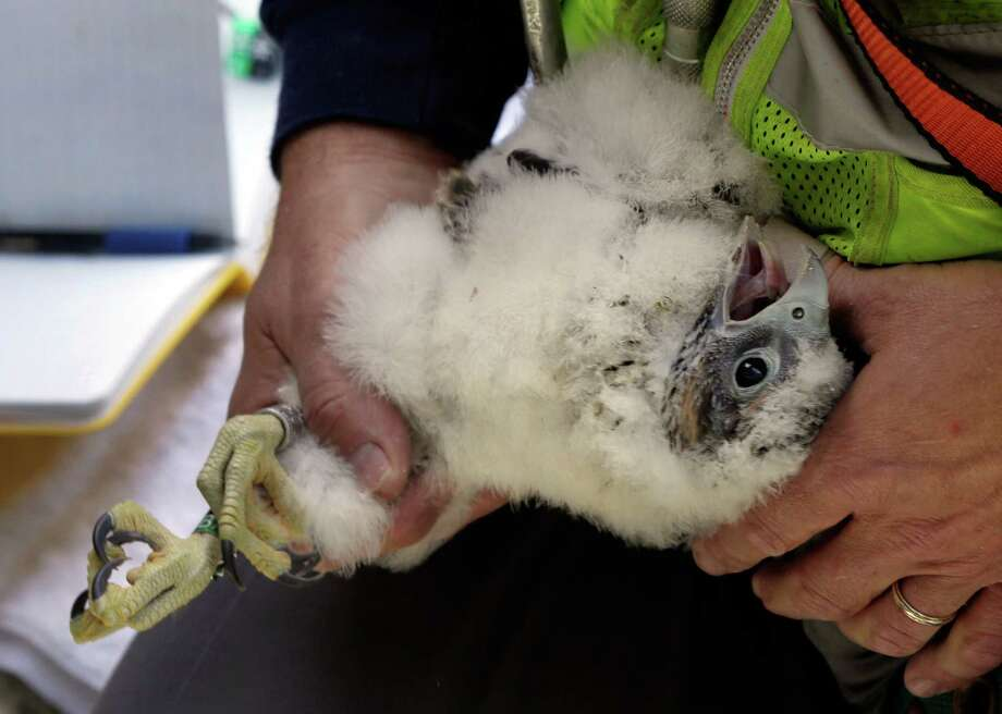 Wildlife biologist Chris Nadareski, of the New York City Department of Environmental Protection, examines one of four peregrine falcons he banded, at a nest at the east tower of the George Washington Bridge, over the Hudson River, in New York, Tuesday, May 21, 2013. The chicks hatched three weeks ago on a girder six feet below the bridge's lower level. Their parents are among 20 pairs of peregrine falcons living in New York City. Photo: Richard Drew, AP / AP