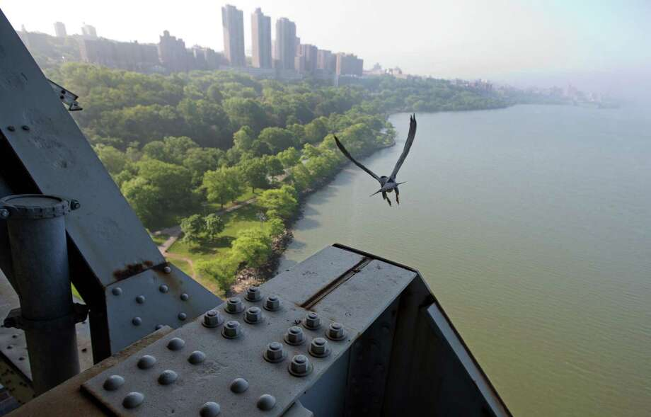 The mother of four baby peregrine falcons  takes off from the George Washington Bridge, over the Hudson River, in New York, Tuesday, May 21, 2013. The chicks hatched three weeks ago on a girder six feet below the bridge's lower level. Their parents are among 20 pairs of peregrine falcons living in New York City. Photo: Richard Drew, AP / AP
