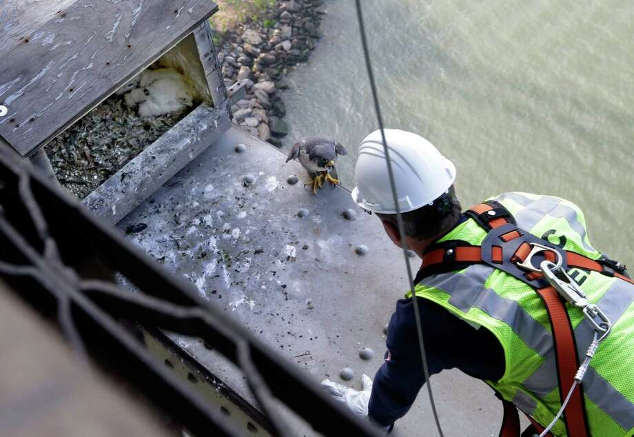 The mother of baby peregrine falcons, center, squawks as wildlife biologist Chris Nadareski, of the New York City Department of Environmental Protection, approaches their nest at the east tower of the George Washington Bridge, over the Hudson River, in New York, Tuesday, May 21, 2013. The chicks hatched three weeks ago on a girder six feet below the bridge's lower level. Their parents are among 20 pairs of peregrine falcons living in New York City. Photo: Richard Drew, AP / AP