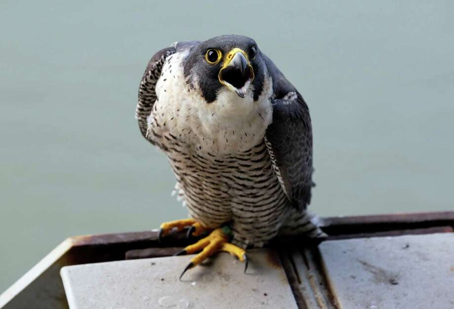 The mother of four baby peregrine falcons  squawks on the George Washington Bridge, over the Hudson River, in New York, Tuesday, May 21, 2013. The chicks hatched three weeks ago on a girder six feet below the bridge's lower level. Their parents are among 20 pairs of peregrine falcons living in New York City. Photo: Richard Drew, AP / AP