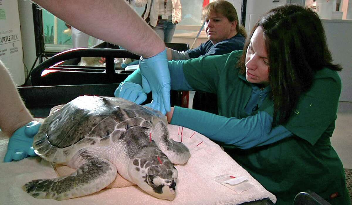 Acupuncturist Claire McManus treats a sea turtle, which was injured after getting stranded on Cape Cod during a prolonged exposure to cold weather, at the New England Aquarium's animal care center in Quincy, Mass., Monday, May 20, 2013. The turtle remained calm as McManus gently tapped more than a dozen needles into its leathery skin during a therapy session intended to decrease inflammation and swelling on its front flippers, restore a full range of motion on those limbs and help the animal regain its appetite.