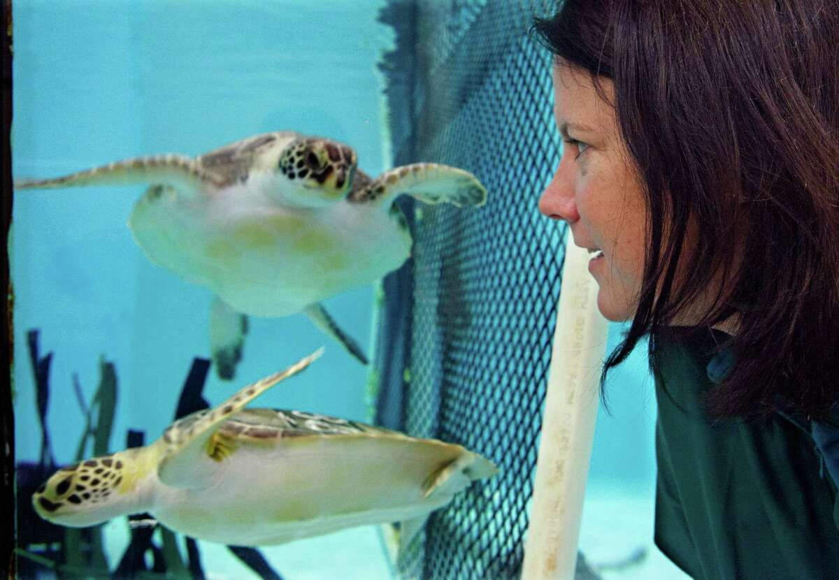 Acupuncturist Claire McManus watches a pair of sea turtles, who are recovering from a stranding, as they swim at the New England Aquarium's animal care center in Quincy, Mass., Monday, May 20, 2013. McManus treated two other sea turtles who were injured after getting stranded on Cape Cod during a prolonged exposure to cold weather.