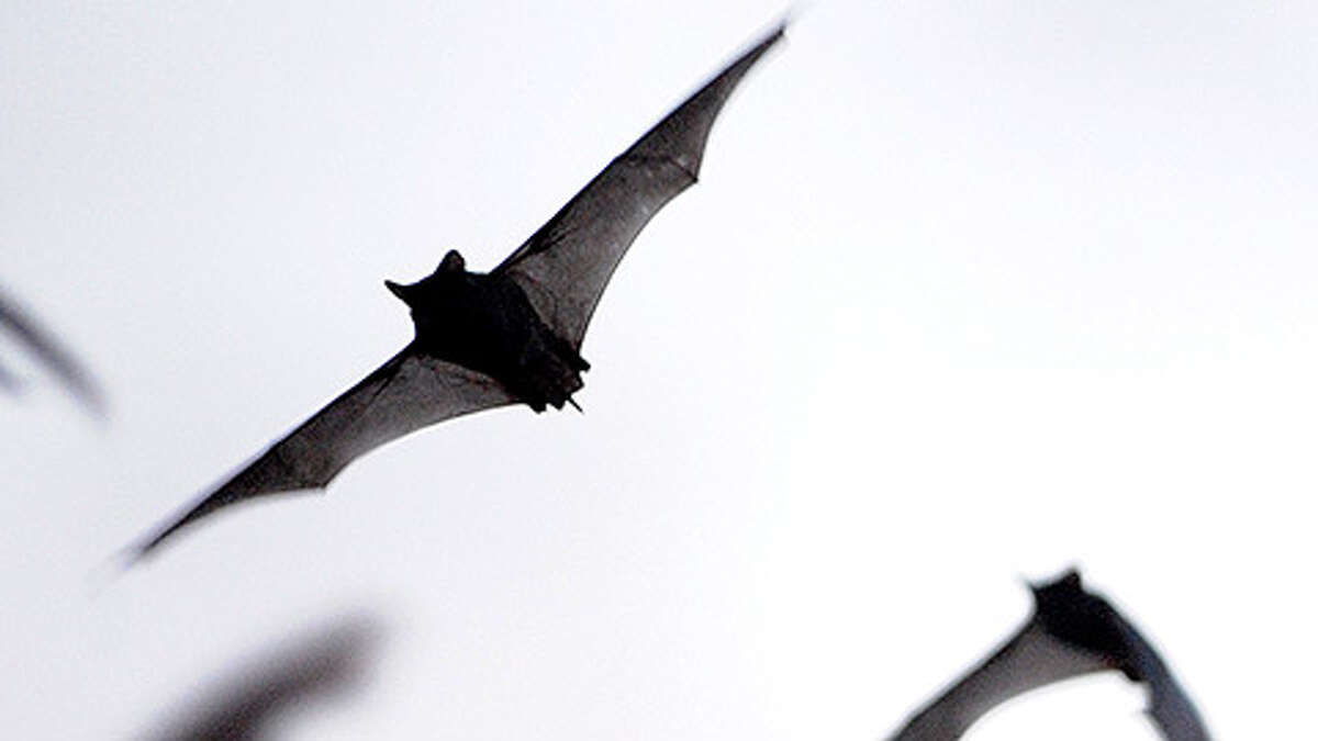 Millions of Mexican free-tailed bats emerge from the Bracken Bat Cave on Saturday, May 18, 2013.