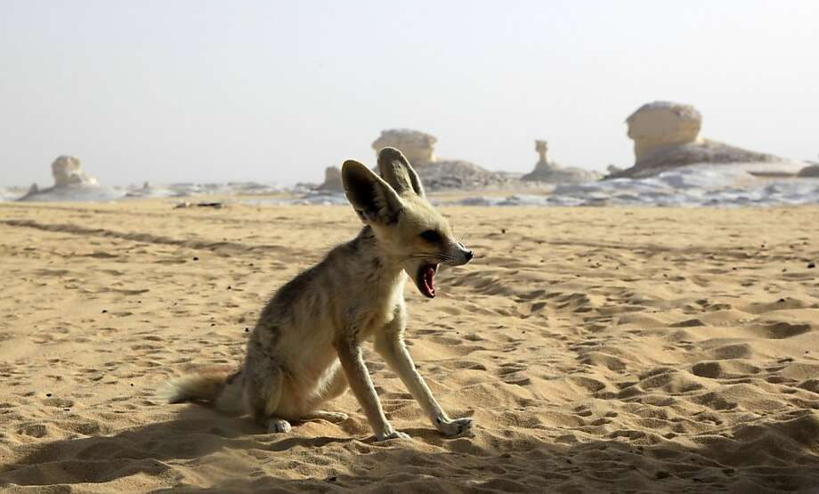 Desert fox: A Fennec fox, the smallest species of fox, and a native to the Sahara desert in Africa, sites in the White desert, 310 miles southwest of Cairo, Egypt. Photo: Manoocher Deghati, Associated Press