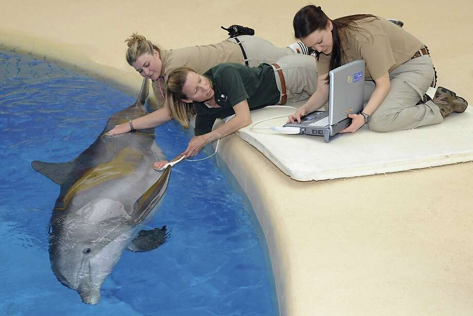 Do they post the picture in the baby album? Jennifer Langan, center, associate veterinarian for the Chicago Zoological Society, performs an ultrasound on Allie, 26, one of three pregnant bottlenose dolphins at Brookfield Zoo near Chicago. The care staff provides to pregnant dolphins is facilitated by the trusting relationships the animals have with their trainers and the veterinary staff. Photo: Jim Schulz, Associated Press