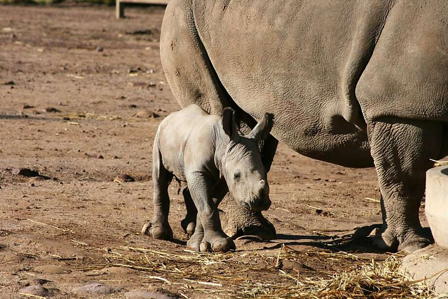 Shielded: A male white rhinoceros calf strolls with mom at the zoo in Sydney.  Photo: Taronga Zoo, AFP/Getty Images