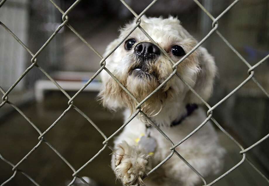 Tough choice: One of three dogs taken from the home of Ariel Castro peers out from its cage at the city kennel in Cleveland. Kidnap victims Amanda Berry, Gina DeJesus and Michelle Knight are being asked if they want to take the pets into their homes. Photo: Mark Duncan, Associated Press