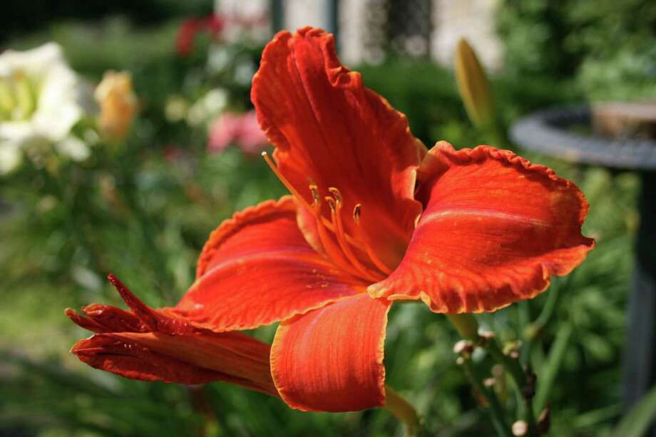 "Dramatic day lilies, which are available in a rainbow of colors and growth heights, are a low-maintenance option for a drought-tolerant landscape. Day lilies have ""strappy"" foliage, propagate well and can be divided every few years - either to fill out other landscape areas or to share with family and friends. Just beware: Deer like to eat them. Photo: Lauri Gray Eaton / Northwest Weekly"