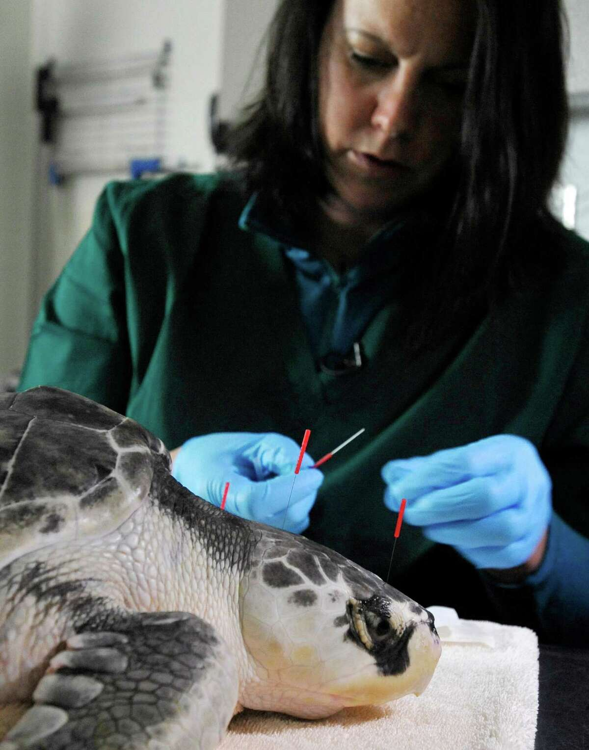 In this Monday, May 202013 photo, acupuncturist Claire McManus applies needles to the head of a Kemp's Ridley turtle named Dexter during acupuncture therapy at the New England Aquarium's sea turtle hospital in Quincy, Mass. Dexter is one of the turtles receiving therapy after getting stranded on Cape Cod over the winter. (AP Photo/Cape Cod Times, Steve Heaslip) MANDATORY CREDIT