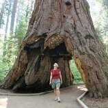 Calaveras Big Trees State Park Stroll through North Grove—the first stand of giant sequoias visited by non–Native Americans. $10; parks.ca.gov