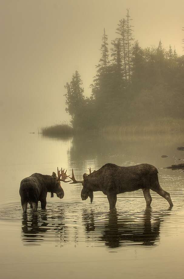 Honorable Mention, Wildlife: Carl TerHaar, Isle Royale National Park (NPS)