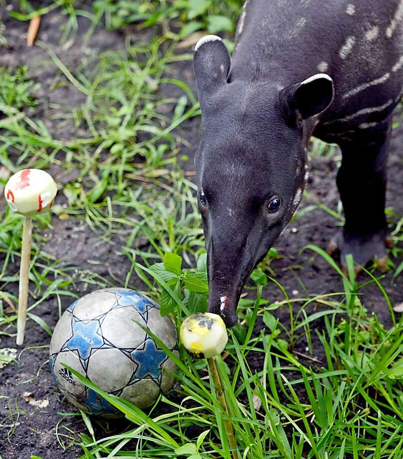 Tapir's choice:Baru sniffs a turnip painted the colors of the German soccer club Borussia Dortmund at the zoo in Leipzig, Germany, thus predicting Borussia (BVB) will win the Champions League final May 25 against Bayern Munich at London's Wembley Stadium. Photo: Hendrik Schmidt, AFP/Getty Images