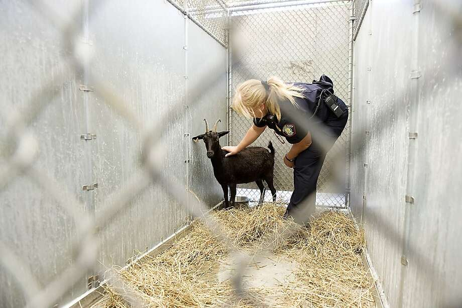 Rush-hour buttinski: With some comforting strokes, Jersey City Police Lt. Kelly Chesler plays good cop with Sky the 