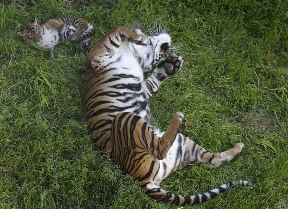 A 2-month-old Sumatran tiger cub born at the San Francisco Zoo rolls in the grass with her mother Leanne, in San Francisco, Calif. on Thursday, April 11, 2013. The public can get its first glimpse of the still unnamed female cub venturing outside of the Lion House beginning Friday.