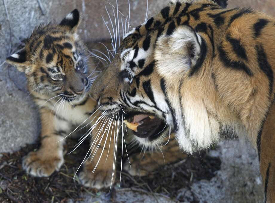 With her mother Leanne close by, a 2-month-old Sumatran tiger cub checks out her outdoor enclosure at the San Francisco Zoo in San Francisco, Calif. on Thursday, April 11, 2013. The public can get its first glimpse of the still unnamed female cub venturing outside of the Lion House beginning Friday.