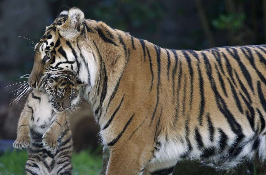 Sumatran tiger mom Leanne carries her 2-month-old cub through their outdoor enclosure at the San Francisco Zoo in San Francisco, Calif. on Thursday, April 11, 2013. The public can get its first glimpse of the still unnamed female cub venturing outside of the Lion House beginning Friday.